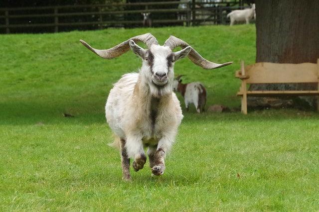 Mois de la Chèvre.