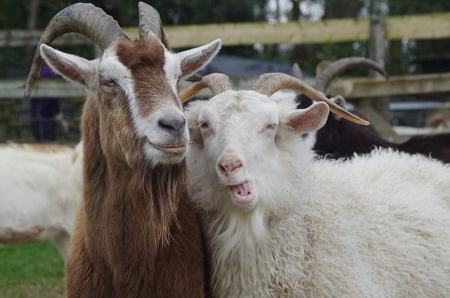 Mois de la Chèvre