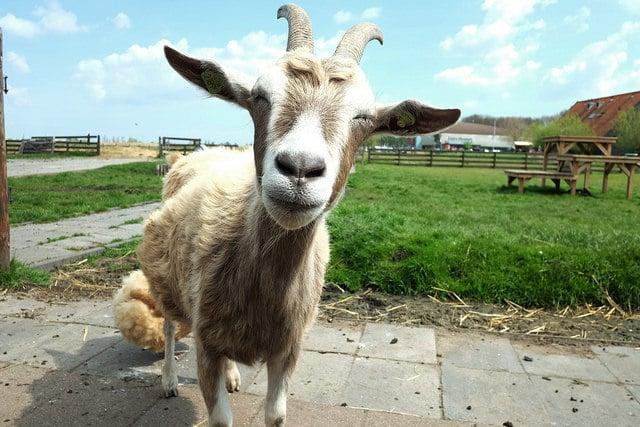 Année du Chien pour le signe de la Chèvre